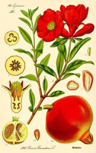 Antique pomegranate print